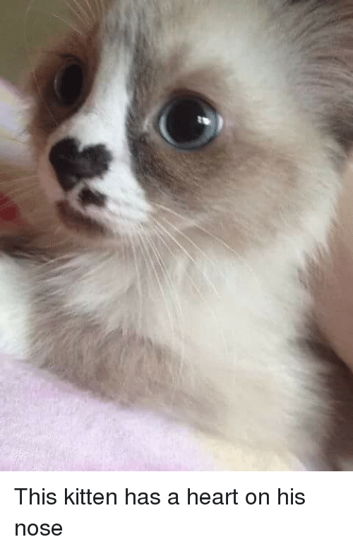 This Kitten Has a Heart on His Nose | Heart Meme on ME ME