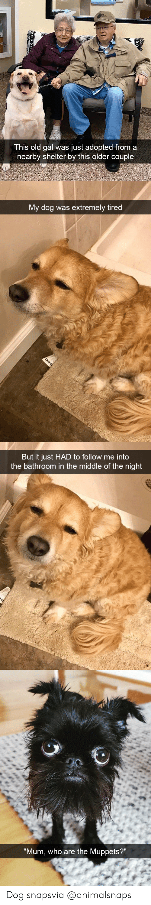 """The Muppets, Target, and Tumblr: This old gal was just adopted from a  nearby shelter by this older couple   My dog was extremely tired  But it just HAD to follow me into  the bathroom in the middle of the night   """"Mum, who are the Muppets?"""" Dog snapsvia @animalsnaps"""