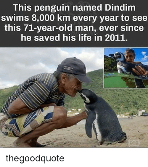 Life, Memes, and Old Man: This  penguin nam  Dindim  swims 8,000 km every year to see  this 71-year-old man, ever since  he saved his life in 2011. thegoodquote