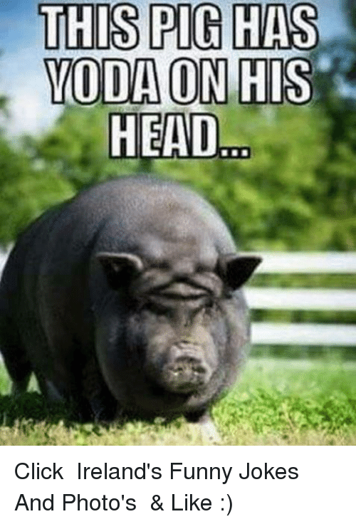 Image of: Cat Funny Jokes Memes And Ireland This Pig Has Moda On His Head Click Funny This Pig Has Moda On His Head Click Irelands Funny Jokes And