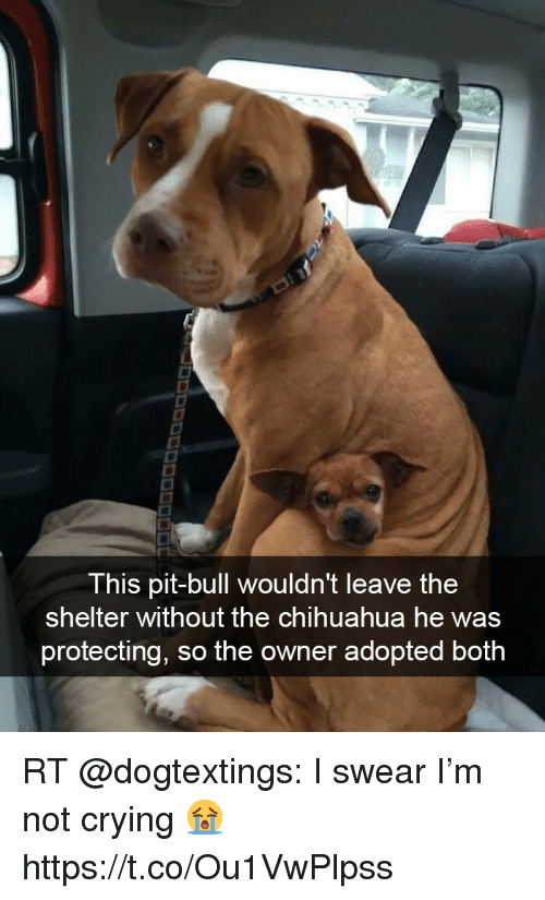 crying chihuahua meme this pit bull wouldn t leave the shelter without the 2740