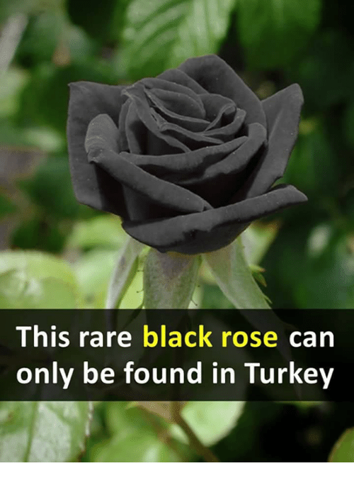 memes black and rose this rare black rose can only be found in