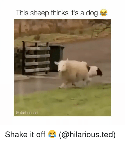 Dogs, Funny, and Shake It Off: This sheep thinks it's a dog  @hilarious.ted Shake it off 😂 (@hilarious.ted)