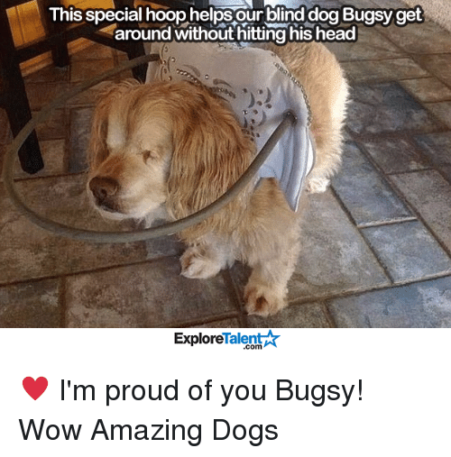 Memes, 🤖, and Talent: This special hoop helps our blind dog Bugsy get  around without hitting his head  Talent  Explore ♥️ I'm proud of you Bugsy!   Wow Amazing Dogs