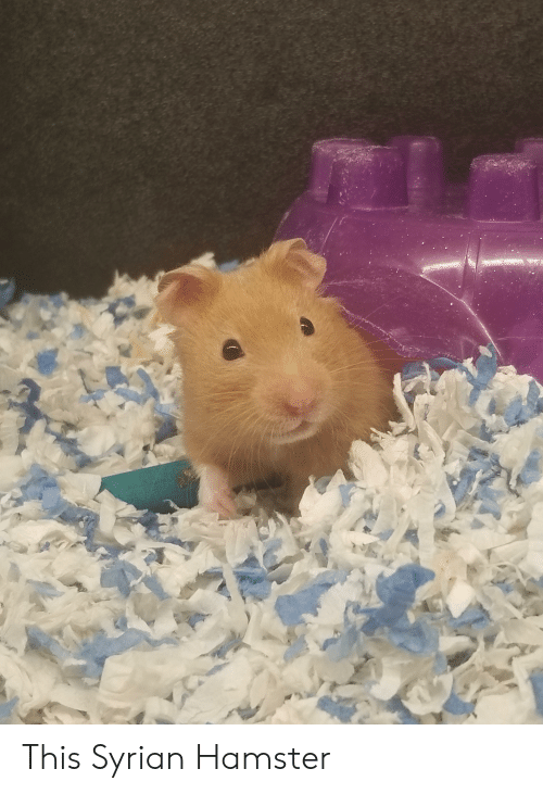 🔥 25+ Best Memes About Syrian Hamster | Syrian Hamster Memes