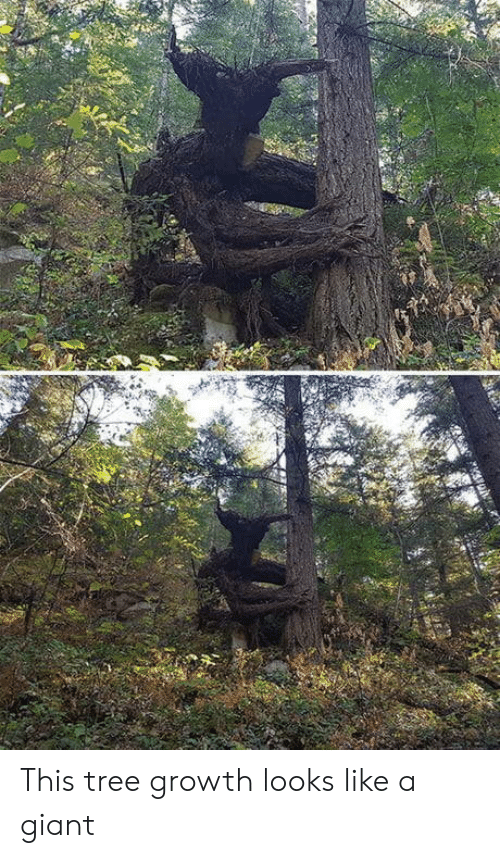 Giant, Tree, and This: This tree growth looks like a giant