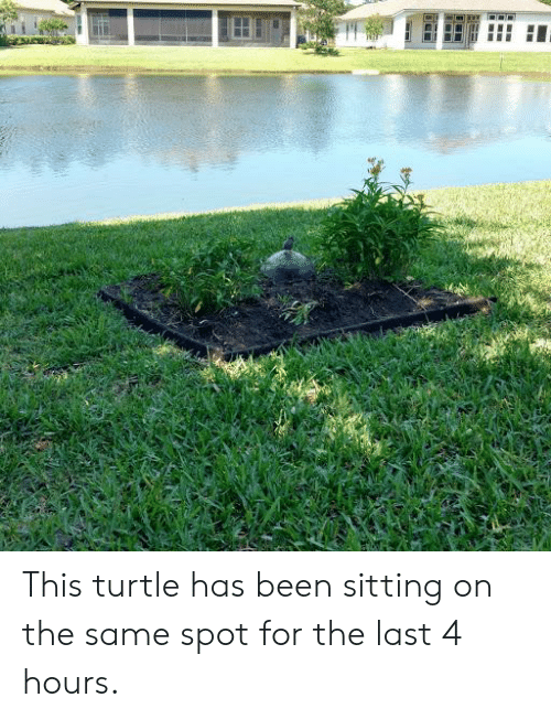 Turtle, Been, and For: This turtle has been sitting on the same spot for the last 4 hours.