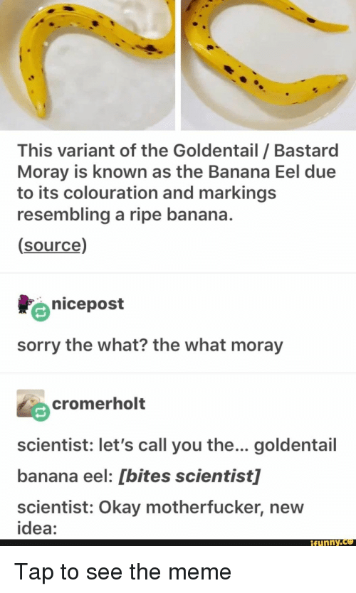 This Variant Of The Goldentail Bastard Moray Is Known As The Banana