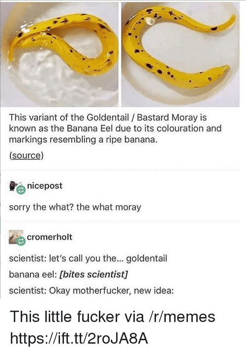Memes, Sorry, and Banana: This variant of the Goldentail Bastard Moray is  known as the Banana Eel due to its colouration and  markings resembling a ripe banana.  (source)  nicepost  sorry the what? the what moray  cromerholt  scientist: let's call you the... goldentail  banana eel: [bites scientist]  scientist: Okay motherfucker, new idea: This little fucker via /r/memes https://ift.tt/2roJA8A