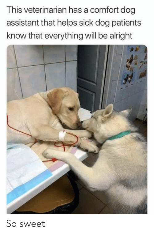 Veterinarian, Sick, and Helps: This veterinarian has a comfort dog  assistant that helps sick dog patients  know that everything will be alright So sweet