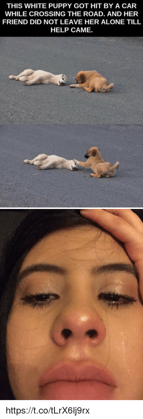 Cars, Friends, and Puppies: THIS WHITE PUPPY GOT HIT BY A CAR  WHILE CROSSING THE ROAD. AND HER  FRIEND DID NOT LEAVE HER ALONE TILL  HELP CAME. https://t.co/tLrX6lj9rx