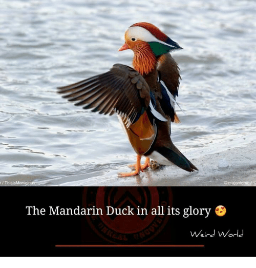 Memes, Duck, and Ducks: ThislsMarvelo  majordomo 12  The Mandarin Duck in all its glory B  Weird World