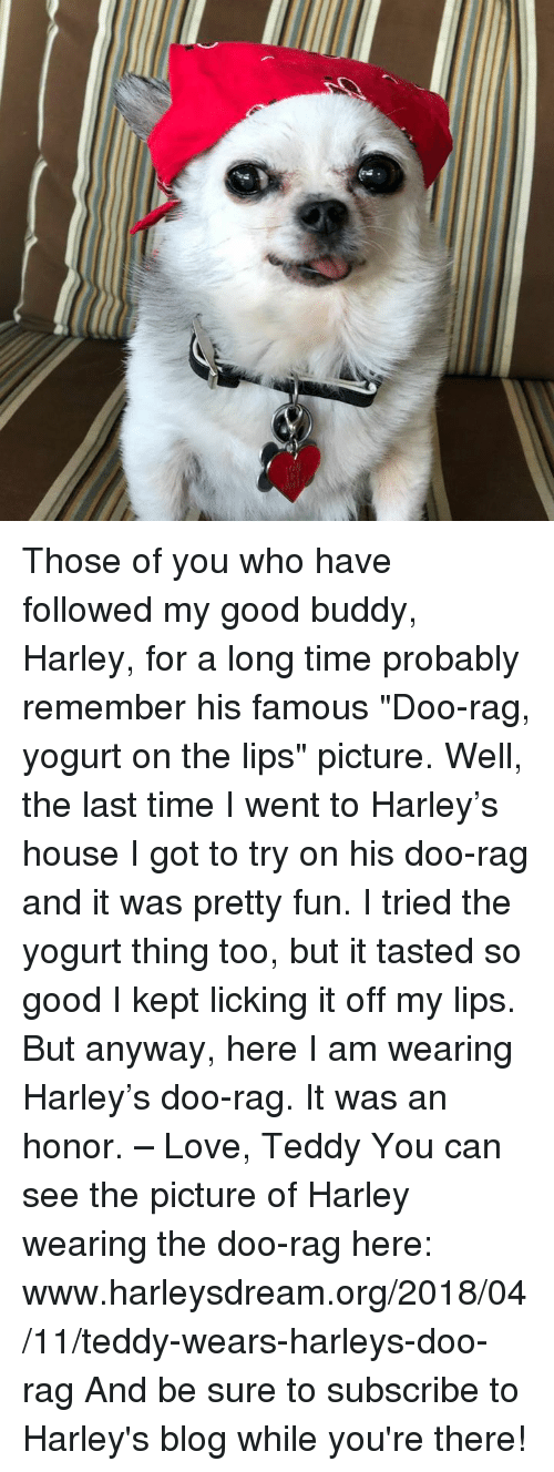 "Love, Memes, and Blog: Those of you who have followed my good buddy, Harley, for a long time probably remember his famous ""Doo-rag, yogurt on the lips"" picture. Well, the last time I went to Harley's house I got to try on his doo-rag and it was pretty fun. I tried the yogurt thing too, but it tasted so good I kept licking it off my lips. But anyway, here I am wearing Harley's doo-rag. It was an honor. – Love, Teddy  You can see the picture of Harley wearing the doo-rag here: www.harleysdream.org/2018/04/11/teddy-wears-harleys-doo-rag And be sure to subscribe to Harley's blog while you're there!"