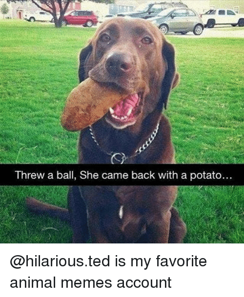 Memes, Ted, and Animal: Threw a ball, she came back with a potato.. @hilarious.ted is my favorite animal memes account