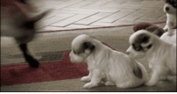 """Friends, Puppies, and Tumblr: <p><a class=""""tumblr_blog"""" href=""""http://antares-nova.tumblr.com/post/71599658562/babygoatsandfriends-goats-4-everyone"""">antares-nova</a>:</p> <blockquote> <p><a class=""""tumblr_blog"""" href=""""http://babygoatsandfriends.tumblr.com/post/71595132707/goats-4-everyone-babygoatsandfriends"""">babygoatsandfriends</a>:</p> <blockquote> <p><a class=""""tumblr_blog"""" href=""""http://goats-4-everyone.tumblr.com/post/71594905510/babygoatsandfriends-marthaachloe-why-would"""">goats-4-everyone</a>:</p> <blockquote> <p><a class=""""tumblr_blog"""" href=""""http://babygoatsandfriends.tumblr.com/post/71593058145/marthaachloe-why-would-you-do-that-you-abusive"""">babygoatsandfriends</a>:</p> <blockquote> <p><a class=""""tumblr_blog"""" href=""""http://marthaachloe.tumblr.com/post/71592528653/why-would-you-do-that-you-abusive-animal-the"""">marthaachloe</a>:</p> <blockquote> <p>WHY WOULD YOU DO THAT YOU ABUSIVE ANIMAL THE PUPPIES HAVE DONE NOTHING TO YOU WHAT THE HELL</p> </blockquote> </blockquote> <p>This is actually the way baby goats socialize and create bonds with their want to be friends. :) The poor thing just wants a friend. The puppies are the abusive ones neglecting it of friendship with their misunderstanding of the mysterious world of goats and their social behaviors.</p> </blockquote> <p>=)</p> </blockquote> <p><strong>In the goat's mind:</strong>""""hello furry sausages let's be friends okay""""</p> <p><strong>In the puppies' minds:</strong> """"jeSUS CHRIST WHAT THE HELL""""</p> </blockquote>"""