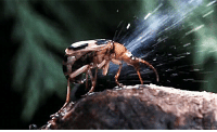 """<p><a class=""""tumblr_blog"""" href=""""http://biomorphosis.tumblr.com/post/72131773039/bombardier-beetle-when-threatened-sprays-the"""">biomorphosis</a>:</p> <blockquote> <p>Bombardier Beetle when threatened, sprays the attacker with a boiling hot mixture of caustic chemicals reaching 212° F (100° C). Even more impressive, the bombardier beetle can aim the poisonous eruption in the direction of the harasser.</p> <p>The beetle itself is not harmed by the fiery chemical reaction. Using two special chambers inside the abdomen, the bombardier beetle mixes potent chemicals and uses an enzymatic trigger to heat and release them.</p> <p>The foul concoction does burn and stain the skin. This defense proves effective against everything from hungry spiders to curious humans.</p> </blockquote> <p>Un escarabajo que expulsa una mezcla química que se pone a 100º C y que no le hace daño a sí misma (cosa lógica).</p> <p>Las hormigas de fuego del Fallout New Vegas cof cof.</p>: <p><a class=""""tumblr_blog"""" href=""""http://biomorphosis.tumblr.com/post/72131773039/bombardier-beetle-when-threatened-sprays-the"""">biomorphosis</a>:</p> <blockquote> <p>Bombardier Beetle when threatened, sprays the attacker with a boiling hot mixture of caustic chemicals reaching 212° F (100° C). Even more impressive, the bombardier beetle can aim the poisonous eruption in the direction of the harasser.</p> <p>The beetle itself is not harmed by the fiery chemical reaction. Using two special chambers inside the abdomen, the bombardier beetle mixes potent chemicals and uses an enzymatic trigger to heat and release them.</p> <p>The foul concoction does burn and stain the skin. This defense proves effective against everything from hungry spiders to curious humans.</p> </blockquote> <p>Un escarabajo que expulsa una mezcla química que se pone a 100º C y que no le hace daño a sí misma (cosa lógica).</p> <p>Las hormigas de fuego del Fallout New Vegas cof cof.</p>"""