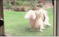 """Dogs, Saw, and Target: <p><a class=""""tumblr_blog"""" href=""""http://fruitsgarden.tumblr.com/post/81971941785/sometimes-dogs-get-embarrassed-that-someone-saw"""" target=""""_blank"""">fruitsgarden</a>:</p> <blockquote> <p>sometimes dogs get embarrassed that someone saw them acting anything other than a majestic and stoic beast</p> </blockquote>"""
