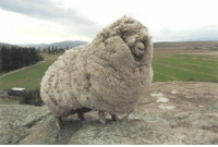 """Shrek, Target, and Tumblr: <p><a class=""""tumblr_blog"""" href=""""http://residentmadscientist.tumblr.com/post/64279001344/kidinabearsuit-an-escaped-sheep-was-found-with"""" target=""""_blank"""">residentmadscientist</a>:</p> <blockquote> <p><a class=""""tumblr_blog"""" href=""""http://kidinabearsuit.tumblr.com/post/36521844838/death-by-lulz-an-escaped-sheep-was-found-with"""" target=""""_blank"""">kidinabearsuit</a>:</p> <blockquote> <blockquote> <p><strong>An escaped sheep was found with 60 pounds of wool.</strong></p> <p>Shrek the sheep ran away and hid in a cave in New Zealand for 6 years. When Shrek was finally found in 2004, the sheep had gone unsheared for so long that it had accumulated 60 pounds of wool on its body, enough to make 20 suits! The sheep became famous and even got to meet the Prime Minister. Shrek finally passed away last month at the age of 16.</p> </blockquote> <p>Its name was Shrek.</p> </blockquote> <p>too many layers</p> </blockquote>"""