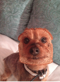 """Food, Puppies, and Target: <p><a href=""""http://animalfactbook.com/post/117983830207/it-is-known-that-the-only-thing-humans-enjoy-more"""" class=""""tumblr_blog"""" target=""""_blank"""">animal-factbook</a>:</p>  <blockquote><p>It is known that the only thing humans enjoy more than puppies is food. This smart little puppy decided that since he was not getting enough attention, he would become the ultimate thing that humans could not resist. He chose toast because it compliment his hair color, and suffice to say it worked, this puppy is officially irresistible.</p></blockquote>"""