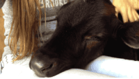 """<p><a href=""""http://bluekillers.tumblr.com/post/156325380447/gifsboom-calf-falling-asleep-on-lap-video"""" class=""""tumblr_blog"""">bluekillers</a>:</p> <blockquote> <p><a href=""""http://gifsboom.net/post/151807907928/calf-falling-asleep-on-lap-video"""" class=""""tumblr_blog"""">gifsboom</a>:</p> <blockquote><p>Calf falling asleep on lap. [<a href=""""https://m.facebook.com/story.php?story_fbid=10151995347256756&amp;id=542371755&amp;hc_location=ufi"""">video</a>]<br/></p></blockquote>  <p>Cows are so precious, please don't eat them</p> </blockquote>: <p><a href=""""http://bluekillers.tumblr.com/post/156325380447/gifsboom-calf-falling-asleep-on-lap-video"""" class=""""tumblr_blog"""">bluekillers</a>:</p> <blockquote> <p><a href=""""http://gifsboom.net/post/151807907928/calf-falling-asleep-on-lap-video"""" class=""""tumblr_blog"""">gifsboom</a>:</p> <blockquote><p>Calf falling asleep on lap. [<a href=""""https://m.facebook.com/story.php?story_fbid=10151995347256756&amp;id=542371755&amp;hc_location=ufi"""">video</a>]<br/></p></blockquote>  <p>Cows are so precious, please don't eat them</p> </blockquote>"""