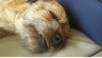 "Tumblr, Blog, and Http: <p><a href=""http://dailyblep.tumblr.com/post/172648463859/border-terrier-does-a-smol-sleep-blop"" class=""tumblr_blog"">dailyblep</a>:</p>  <blockquote><p>Border Terrier does a smol sleep blop</p></blockquote>"