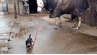 """Tumblr, Best, and Blog: <p><a href=""""http://natsdorf.com/post/160020383193/dachshund-takes-horse-for-a-stroll-full-video"""" class=""""tumblr_blog"""">thenatsdorf</a>:</p><blockquote><p>Dachshund takes horse for a stroll. [<a href=""""http://www.tastefullyoffensive.com/2017/04/little-dachshund-dog-takes-his-giant.html"""">full video</a>]</p></blockquote>  <p>This is actually truly the best thing I have ever seen ever</p>"""