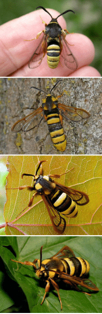 """<p><a href=""""http://sixpenceee.com/post/106855013839/the-following-is-not-a-hornet-but-a-hornet-moth"""" class=""""tumblr_blog"""" target=""""_blank"""">sixpenceee</a>:</p>  <blockquote><p>The following is not a hornet but a <b>hornet moth</b>. To protect itself from predators this moth looks and behaves like a real hornet.The moth is as large as a hornet and even mimics the hornet's jerky flight when disturbed. However, the hornet moth has more yellow and lacks the waist between the abdomen and the thorax.It also has transparent wings. <b><a href=""""http://twistedsifter.com/2014/10/the-hornet-moth-sesia-apiformis/"""" target=""""_blank"""">(Source)</a></b></p></blockquote>: <p><a href=""""http://sixpenceee.com/post/106855013839/the-following-is-not-a-hornet-but-a-hornet-moth"""" class=""""tumblr_blog"""" target=""""_blank"""">sixpenceee</a>:</p>  <blockquote><p>The following is not a hornet but a <b>hornet moth</b>. To protect itself from predators this moth looks and behaves like a real hornet.The moth is as large as a hornet and even mimics the hornet's jerky flight when disturbed. However, the hornet moth has more yellow and lacks the waist between the abdomen and the thorax.It also has transparent wings. <b><a href=""""http://twistedsifter.com/2014/10/the-hornet-moth-sesia-apiformis/"""" target=""""_blank"""">(Source)</a></b></p></blockquote>"""