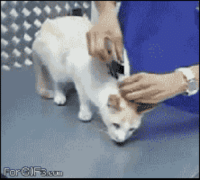 """Cats, Comfortable, and Fucking: <p><a href=""""http://thisisdogprivilege.tumblr.com/post/121669506651/cishetwhiteoppressor-libertywoman"""" class=""""tumblr_blog"""">thisisdogprivilege</a>:</p>  <blockquote><p><a href=""""http://cishetwhiteoppressor.tumblr.com/post/121669155931/libertywoman-nipples-68005-if-someone-did"""" class=""""tumblr_blog"""">cishetwhiteoppressor</a>:</p>  <blockquote><p><a href=""""http://libertywoman.tumblr.com/post/116088487439/nipples-68005-if-someone-did-that-to-my-cat-or"""" class=""""tumblr_blog"""">libertywoman</a>:</p>  <blockquote><p><a href=""""http://nipples-68005.tumblr.com/post/116088126630/if-someone-did-that-to-my-cat-or-any-other-pet"""" class=""""tumblr_blog"""">nipples-68005</a>:</p>  <blockquote><p>If someone did that to my cat or any other pet that I might have there would be some issues.<br/></p></blockquote>  <p>The person who posted this is an idiot. I absolutely agree with you nipples-68005. Not sure how I would handle it but when I'm angry…..it's not pretty. I love our two kitties and NO ONE does something stupid like this to them!</p></blockquote>  <p>As far as I know, this is completely harmless if you do it correctly (so it's better if you don't). The person doing it seems to be a vet.</p><p><a href=""""http://pets.thenest.com/effect-grabbing-cat-its-scruff-have-9428.html"""">  """"You may notice that veterinarians occasionally adopt the """"scruff"""" technique for grabbing cats of all ages – a throwback to their tender time as kittens. However, veterinarians are qualified professionals that undergo rigorous training in all matters regarding felines – including safe and comfortable lifting methods. The bottom line is – don't try grabbing your cat by the scruff at home!""""  </a></p></blockquote>  <p>If you're not a cat then doing this is NOT okay. ONLY CATS ARE ALLOWED TO GRAB OTHER CATS BY THE SCRUFF OF THE NECK, IT'S FELINE CULTURE. Stop with your catural appropriation you fucking shitlords!!</p></blockquote>"""