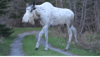 """Run, Tumblr, and Blog: <p><a href=""""http://winneganfake.tumblr.com/post/163930604513/when-you-see-the-ghost-moose-you-dont-stop-to"""" class=""""tumblr_blog"""">winneganfake</a>:</p><blockquote><p>When you see the Ghost Moose, you don't stop to ask questions. You run. Megafauna, especially SPECTRAL MEGAFAUNA are not to be trifled with.</p></blockquote>"""