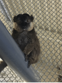 """Tumblr, Blog, and Com: <p><a href=""""https://daily-blep.tumblr.com/post/169663742556/lemur-blep"""" class=""""tumblr_blog"""">daily-blep</a>:</p>  <blockquote><p>Lemur blep</p></blockquote>"""