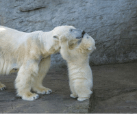 "<p><a href=""https://epicjohndoe.tumblr.com/post/172461404242/polar-bears-are-adorable"" class=""tumblr_blog"">epicjohndoe</a>:</p>  <blockquote><p>Polar Bears Are Adorable</p></blockquote>"