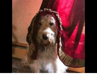 "<p><a href=""https://omg-images.tumblr.com/post/164191064657/labradoodle-wearing-his-nuns-veil"" class=""tumblr_blog"">omg-images</a>:</p>  <blockquote><p>Labradoodle wearing his ""nun's veil.""</p></blockquote>: <p><a href=""https://omg-images.tumblr.com/post/164191064657/labradoodle-wearing-his-nuns-veil"" class=""tumblr_blog"">omg-images</a>:</p>  <blockquote><p>Labradoodle wearing his ""nun's veil.""</p></blockquote>"