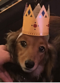 """Omg, Tumblr, and Blog: <p><a href=""""https://omg-images.tumblr.com/post/171467716652/lucy-my-longhaired-dachshund-donning-her-crown"""" class=""""tumblr_blog"""">omg-images</a>:</p>  <blockquote><p>Lucy (my longhaired dachshund) donning her crown to celebrate my Cake Day</p></blockquote>"""