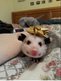 """Cards Against Humanity, Tumblr, and Blog: <p><a href=""""https://possumoftheday.tumblr.com/post/169062664374/todays-possum-of-the-day-has-been-brought-to-you"""" class=""""tumblr_blog"""">possumoftheday</a>:</p>  <blockquote><p><b>Today's Possum of the Day has been brought to you by:</b> Our Pal, Jackie, at Cards Against Humanity!</p></blockquote>"""