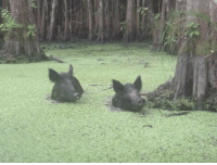 "Tumblr, Blog, and Http: <p><a href=""https://theroomyouneverenter.tumblr.com/post/169514731509/wormspeddler-oooohh-two-pigs-bog-hogs"" class=""tumblr_blog"">theroomyouneverenter</a>:</p> <blockquote> <p><a href=""http://wormspeddler.tumblr.com/post/166068036717/oooohh-two-pigs"" class=""tumblr_blog"">wormspeddler</a>:</p> <blockquote><p>oooohh.. two pigs</p></blockquote>  <p>BOG HOGS</p> </blockquote>"