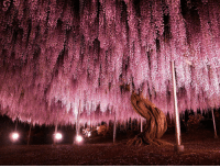 Japan, Old, and Wisteria: <p>144 years old Wisteria in Japan.</p>