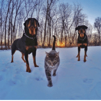 Rottweiler, Cat, and  a Cat: <p>A Cat With Rottweiler Bodyguards.</p>