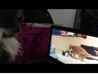 Video, Cat, and Cat Video: <p>A video of my cat watching a cat video.</p>