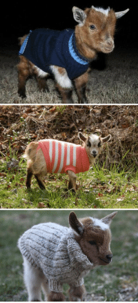 Baby, Baby Goats, and Goats: <p>baby goats wearing sweaters</p>