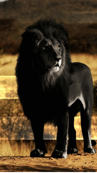 Black, Lion, and Black Lion: <p>Black Lion Looks Majestic.</p>