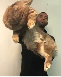 Giant, Rabbit, and World: <p>Giant Flemish Rabbits are world&rsquo;s biggest breed of rabbit <br/></p>