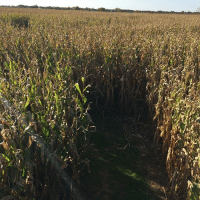 Guess, Time, and Corn: <p>It&rsquo;s time to play &ldquo;Guess the Corn Maze!&rdquo;</p>