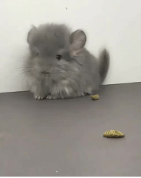<p>Look how cute this Chinchilla is<br/></p>: <p>Look how cute this Chinchilla is<br/></p>