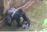 "<p>One year ago today, a three-year-old boy climbed into a gorilla enclosure at the Cincinnati Zoo and changed the memesphere forever. The gorillas name? Harambe. Half naked women get thousands of up votes; how many for our dead (in every sense of the word) meme hero? (by BraveReddit ) via /r/dank_meme <a href=""http://ift.tt/2s4Z3dc"">http://ift.tt/2s4Z3dc</a></p>: <p>One year ago today, a three-year-old boy climbed into a gorilla enclosure at the Cincinnati Zoo and changed the memesphere forever. The gorillas name? Harambe. Half naked women get thousands of up votes; how many for our dead (in every sense of the word) meme hero? (by BraveReddit ) via /r/dank_meme <a href=""http://ift.tt/2s4Z3dc"">http://ift.tt/2s4Z3dc</a></p>"