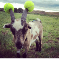 Goat, Precaution, and Safety: <p>Safety Precaution Goat.</p>