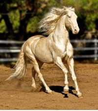 Horse, Turkmenistan, and The: <p>The Akhal Teke, a horse breed from Turkmenistan.</p>