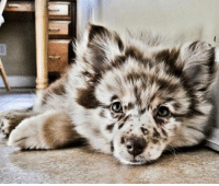 """Meme, Tumblr, and Http: <p>This Is An Australian Shepherd Husky Puppy.<br/><a href=""""http://daily-meme.tumblr.com""""><span style=""""color: #0000cd;""""><a href=""""http://daily-meme.tumblr.com/"""">http://daily-meme.tumblr.com/</a></span></a></p>"""