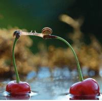Top, Kissing, and Snails: <p>Two Snails Kissing On Top Of Cherries.</p>