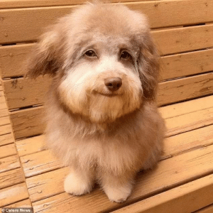 This dog looks like Bob Ross: ©Caters News This dog looks like Bob Ross