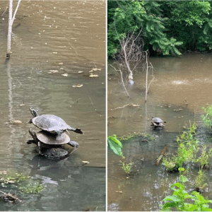 """I've seen a lot of wildlife this spring but this one takes the cake!"" (Source): ""I've seen a lot of wildlife this spring but this one takes the cake!"" (Source)"